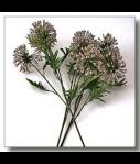 Wild Allium - Soft Pink